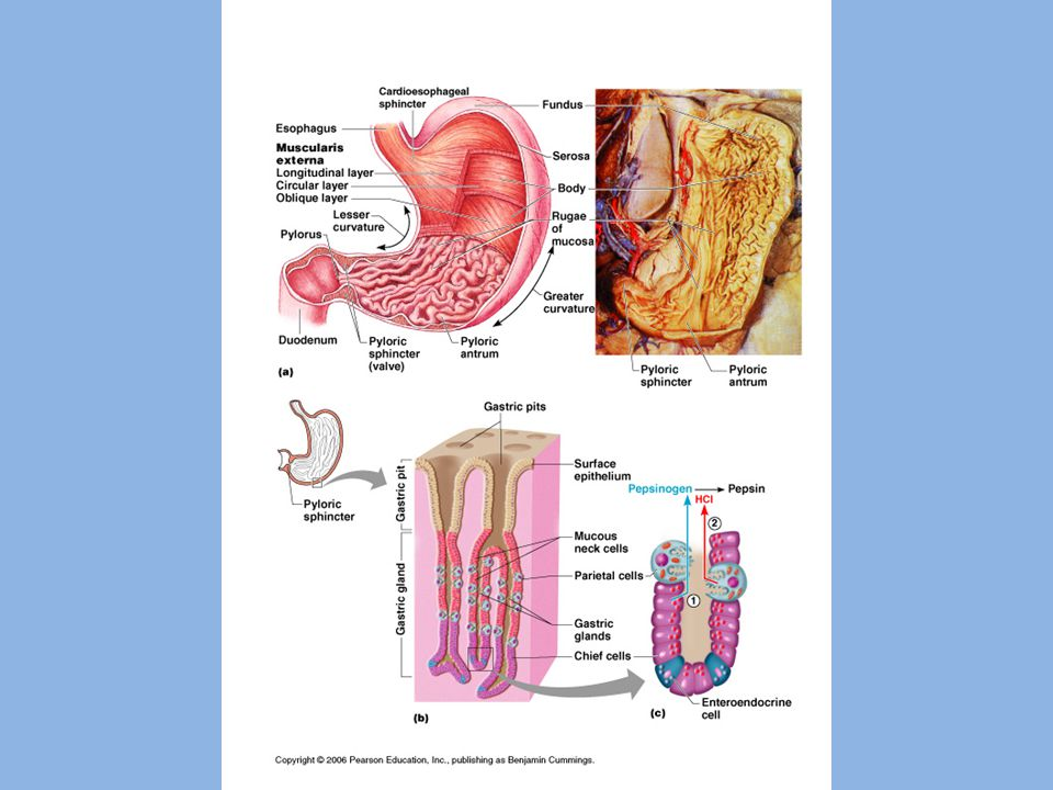 – Chemical digestion occurs with enzymes Gastric glands – in stomach lining; release gastric juice – Gastric juice – includes digestive enzymes, intrinsic factor, hydrochloric acid (HCl), and mucus » Intrinsic factor helps absorb vitamin B12 Pepsin – enzyme that breaks down protein (activated by HCl)