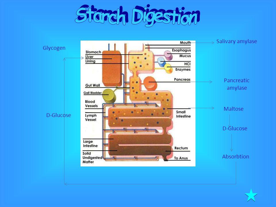 Salivary amylase Pancreatic amylase Maltose D-Glucose Absorbtion Glycogen D-Glucose