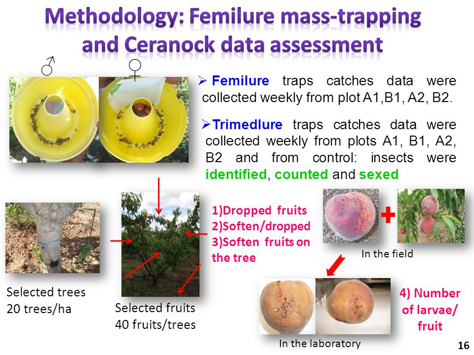  Femilure traps catches data were collected weekly from plot A1,B1, A2, B2. ♂ ♀ 1)Dropped fruits 2)Soften/dropped 3)Soften fruits on the tree Selecte