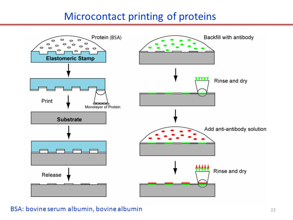 Microcontact printing of proteins BSA: bovine serum albumin, bovine albumin 23