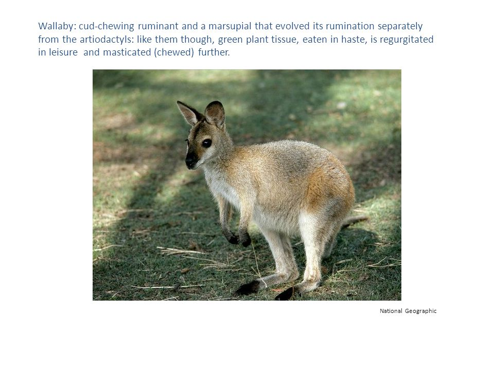 Similar stomach chamber features, including an oesophageal groove evolved in wallabies independently of the evolutionary events that led to the rumen of a cow.