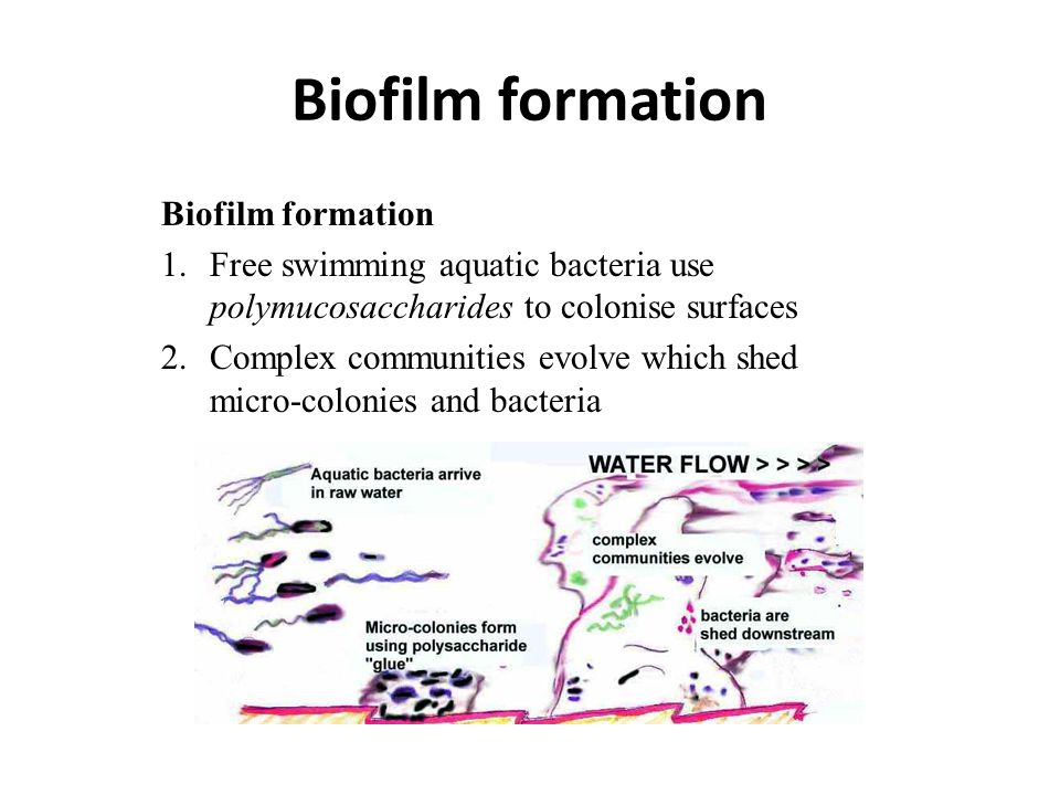 Biofilm formation 1.Free swimming aquatic bacteria use polymucosaccharides to colonise surfaces 2.Complex communities evolve which shed micro-colonies and bacteria