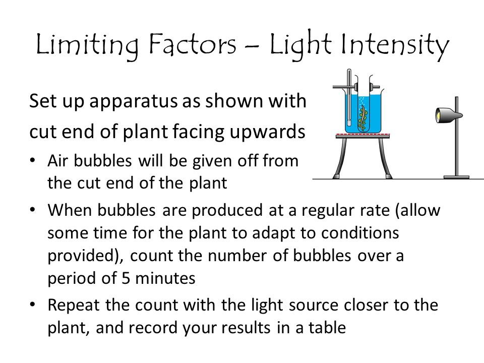 Limiting Factors – Light Intensity Set up apparatus as shown with cut end of plant facing upwards Air bubbles will be given off from the cut end of th