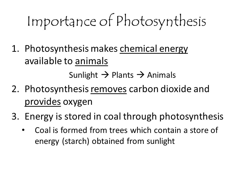 Importance of Photosynthesis 1.Photosynthesis makes chemical energy available to animals Sunlight  Plants  Animals 2.Photosynthesis removes carbon d