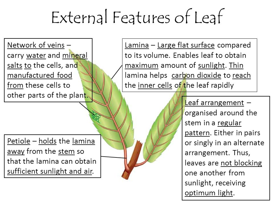 External Features of Leaf Lamina – Large flat surface compared to its volume. Enables leaf to obtain maximum amount of sunlight. Thin lamina helps car