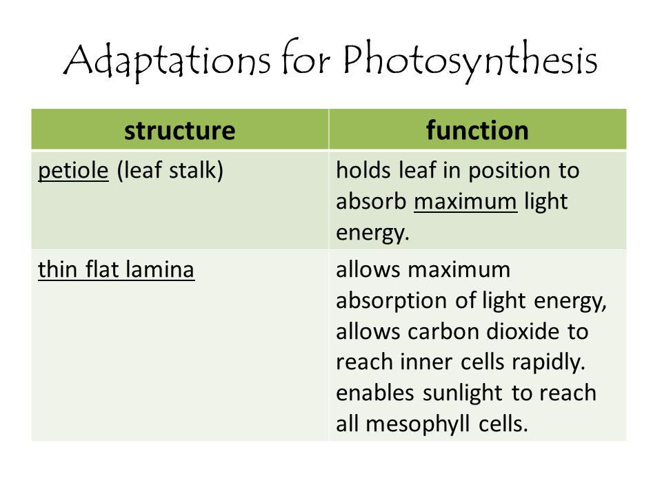 Adaptations for Photosynthesis structurefunction petiole (leaf stalk)holds leaf in position to absorb maximum light energy. thin flat laminaallows max