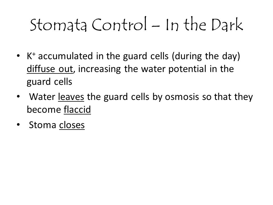 K + accumulated in the guard cells (during the day) diffuse out, increasing the water potential in the guard cells Water leaves the guard cells by osm