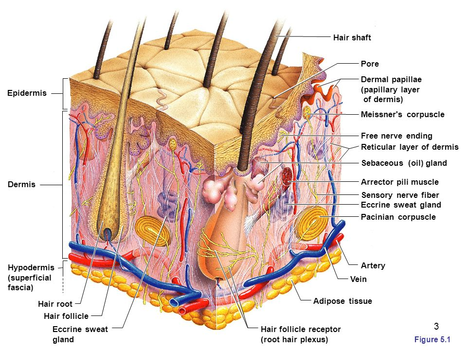 Layers of the Dermis  Papillary layer Areolar connective tissue with collagen and elastic fibers Its superior surface contains peglike projections called dermal papillae Dermal papillae contain Meissner's corpuscles, and free nerve endings