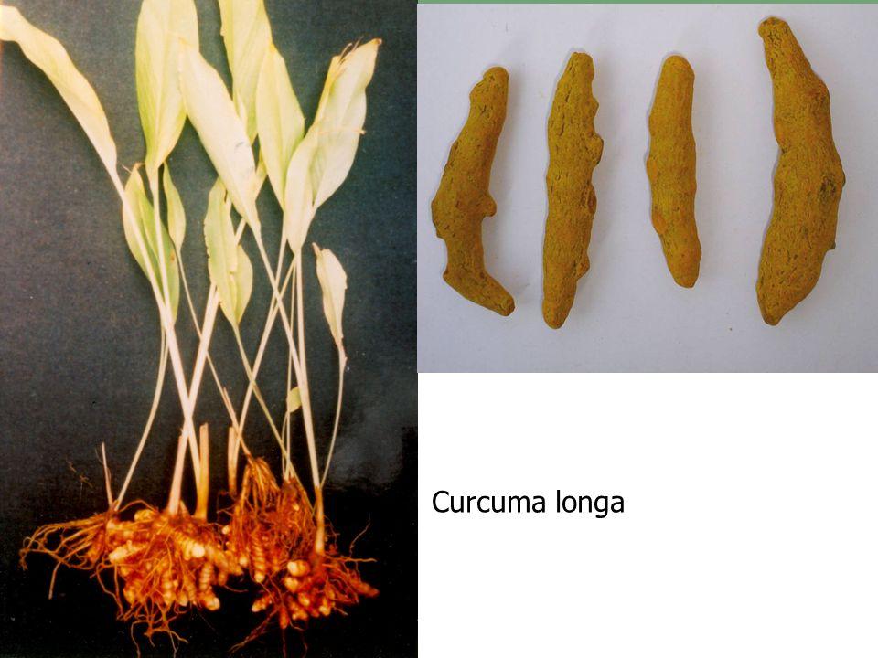 43 Curcuma longa