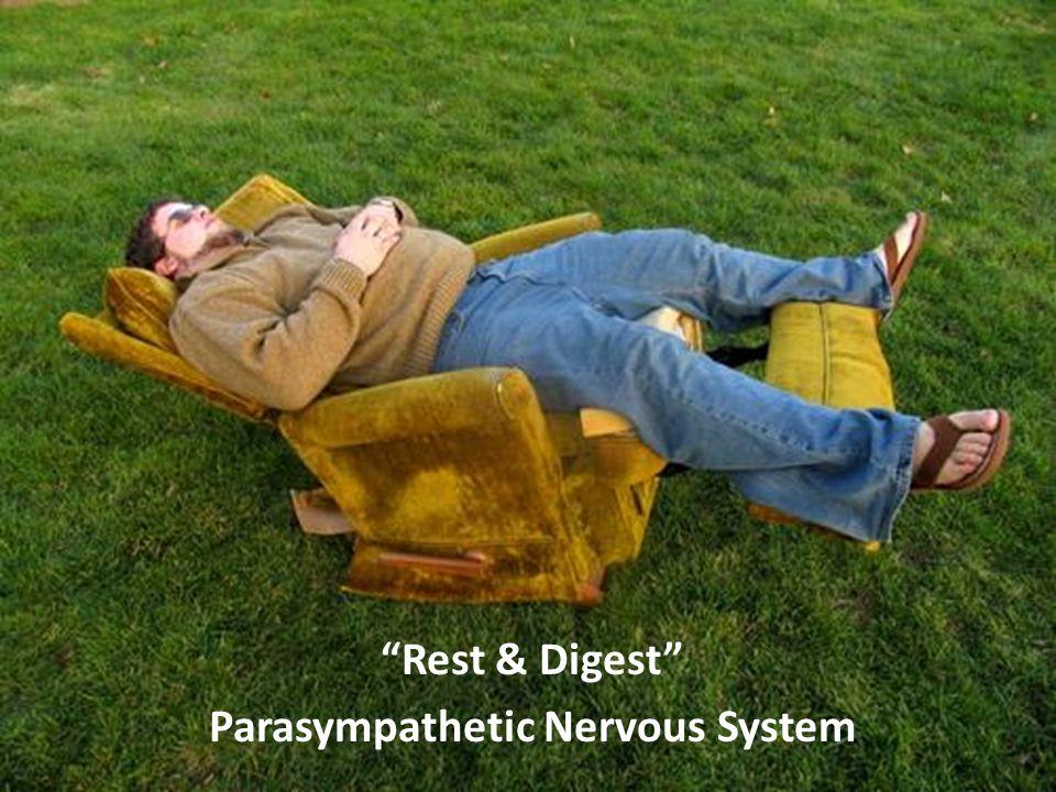 Rest & Digest Parasympathetic Nervous System