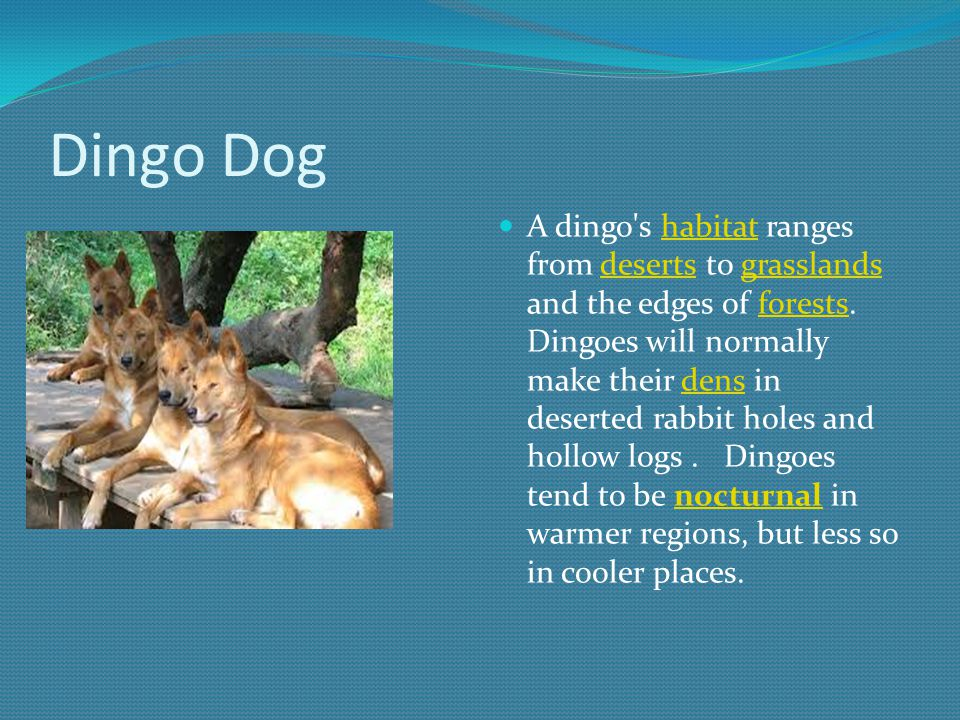 Dingo Dog A dingo s habitat ranges from deserts to grasslands and the edges of forests.