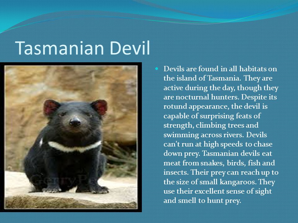 Tasmanian Devil Devils are found in all habitats on the island of Tasmania. They are active during the day, though they are nocturnal hunters. Despite