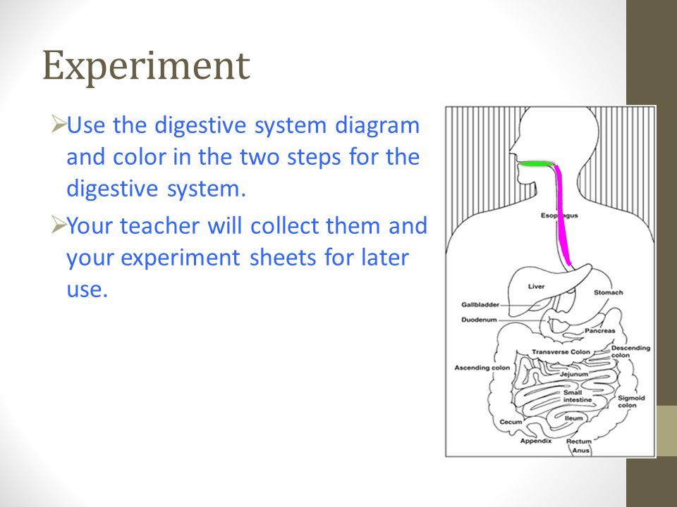Experiment  Use the digestive system diagram and color in the two steps for the digestive system.