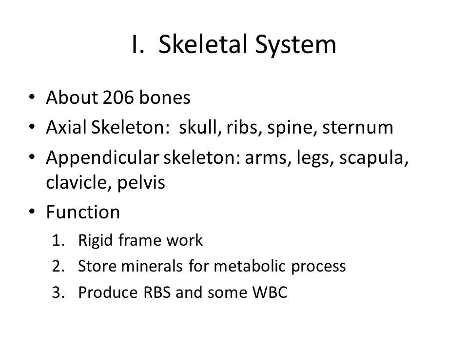 I. Skeletal System About 206 bones Axial Skeleton: skull, ribs, spine, sternum Appendicular skeleton: arms, legs, scapula, clavicle, pelvis Function 1