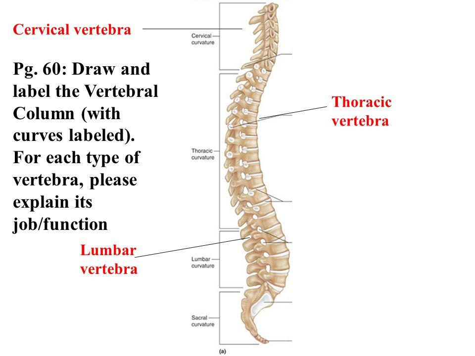 Cervical vertebra Thoracic vertebra Lumbar vertebra Pg. 60: Draw and label the Vertebral Column (with curves labeled). For each type of vertebra, plea