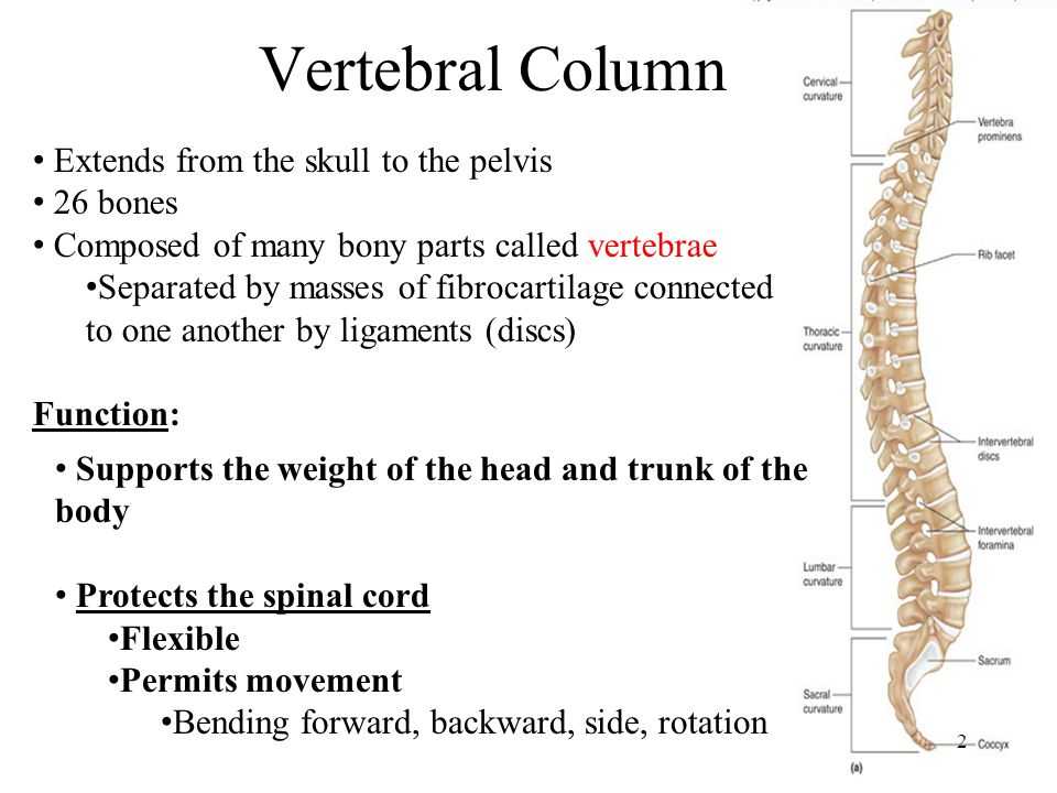 Vertebral Column 2 Extends from the skull to the pelvis 26 bones Composed of many bony parts called vertebrae Separated by masses of fibrocartilage connected to one another by ligaments (discs) Supports the weight of the head and trunk of the body Protects the spinal cord Flexible Permits movement Bending forward, backward, side, rotation Function:
