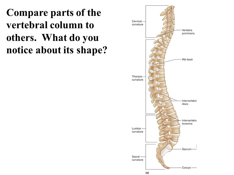 Compare parts of the vertebral column to others. What do you notice about its shape