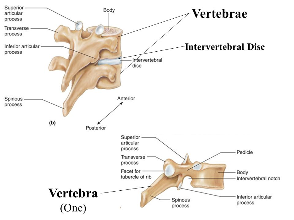 8 Vertebrae Intervertebral Disc Vertebra (One)