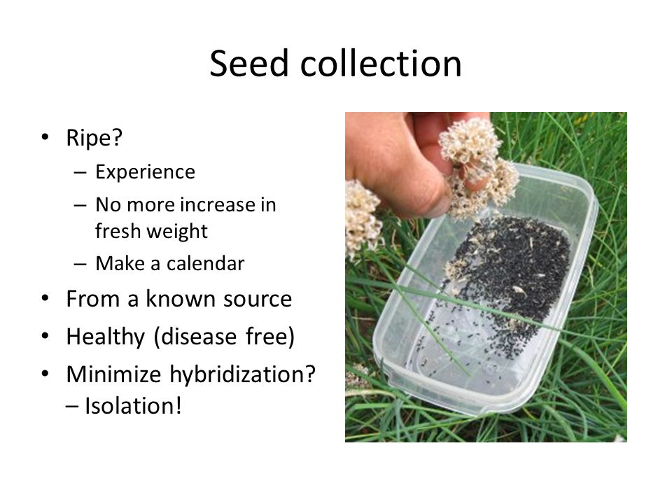 Seed collection Ripe? – Experience – No more increase in fresh weight – Make a calendar From a known source Healthy (disease free) Minimize hybridizat