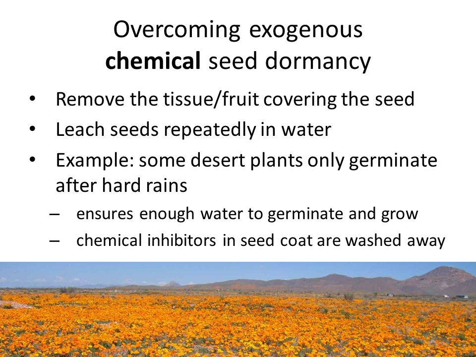Overcoming exogenous chemical seed dormancy Remove the tissue/fruit covering the seed Leach seeds repeatedly in water Example: some desert plants only germinate after hard rains – ensures enough water to germinate and grow – chemical inhibitors in seed coat are washed away