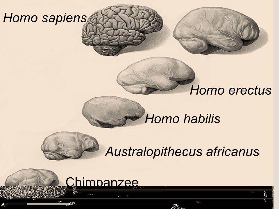 Brain Size Chimpanzee Australopithecus africanus Homo habilis Homo erectus Homo sapiens