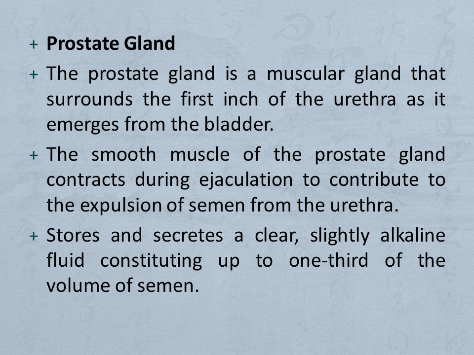 + Prostate Gland + The prostate gland is a muscular gland that surrounds the first inch of the urethra as it emerges from the bladder.