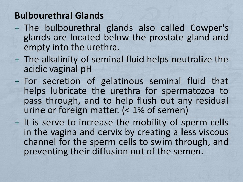 Bulbourethral Glands + The bulbourethral glands also called Cowper s glands are located below the prostate gland and empty into the urethra.