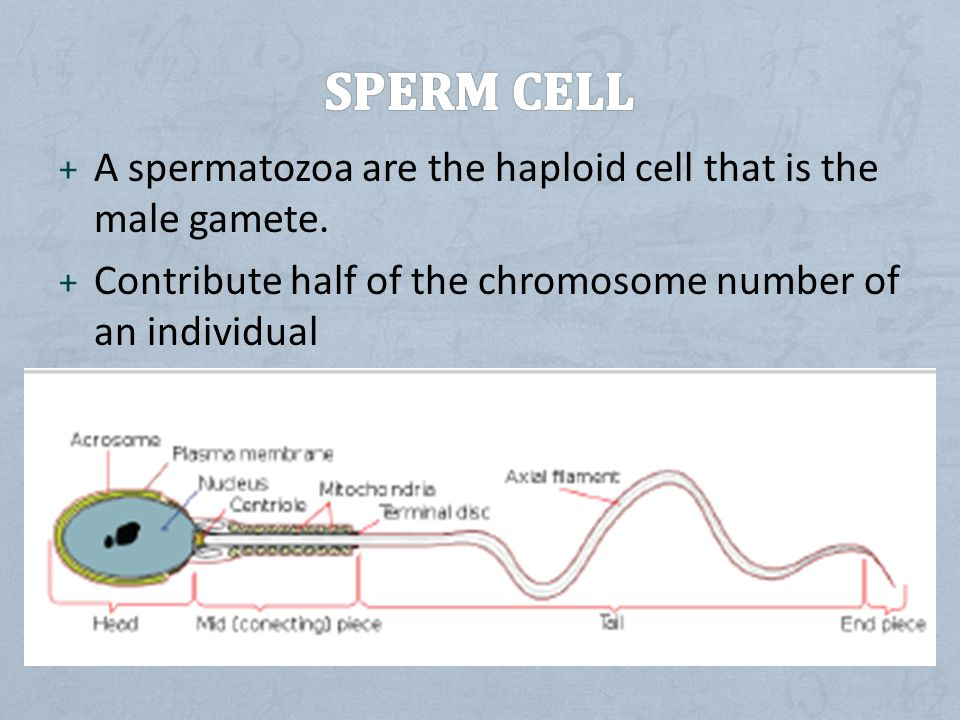 + A spermatozoa are the haploid cell that is the male gamete.