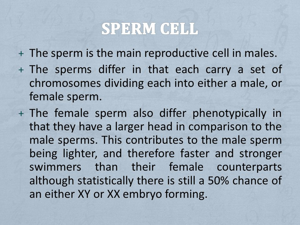 + The sperm is the main reproductive cell in males.