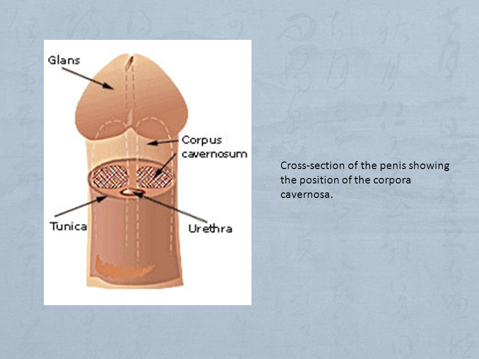 Cross-section of the penis showing the position of the corpora cavernosa.