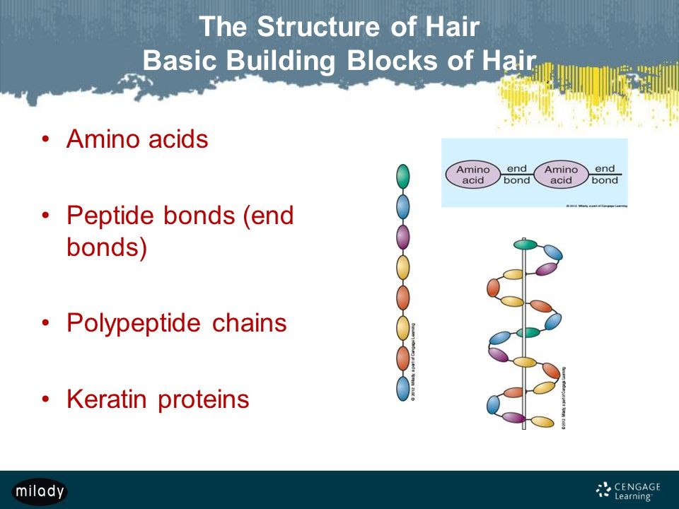 The Structure of Hair Basic Building Blocks of Hair Amino acids Peptide bonds (end bonds) Polypeptide chains Keratin proteins