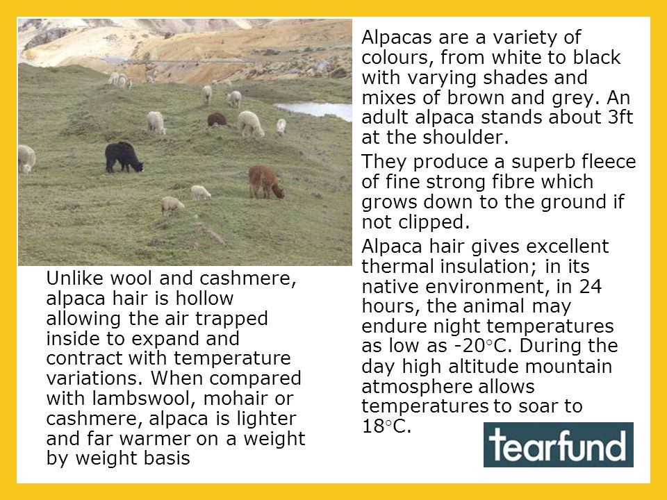 Alpacas are a variety of colours, from white to black with varying shades and mixes of brown and grey. An adult alpaca stands about 3ft at the shoulde