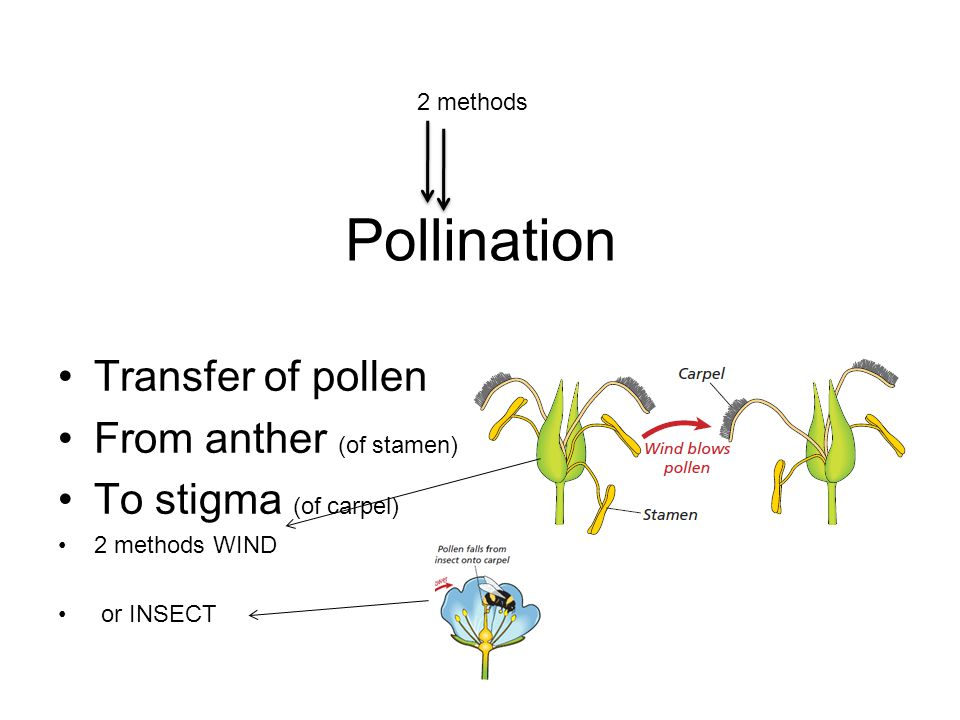 Pollination Transfer of pollen From anther (of stamen) To stigma (of carpel) 2 methods WIND or INSECT 2 methods