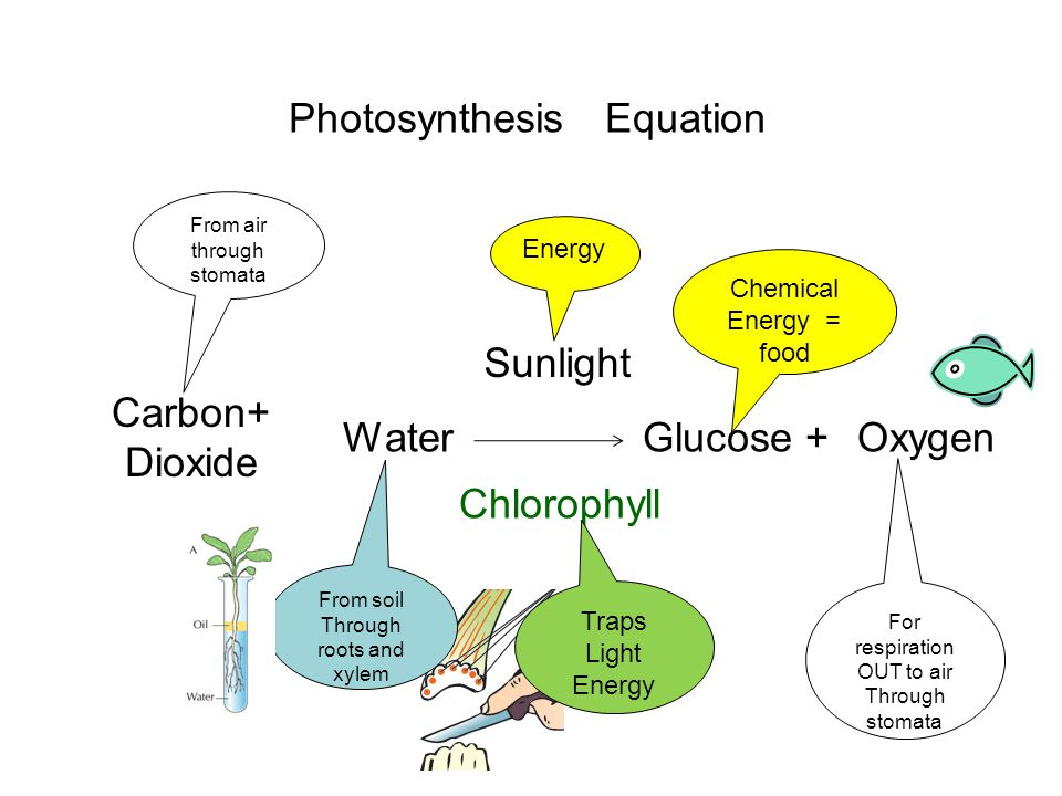 Photosynthesis Experiment Leaf in hot water 10 mins To soften leaf Leaf in hot alcohol (A) 10 -15 mins To remove chlorophyll Leaf in hot water 5s To rinse leaf Add iodine Goes blue-black Starch is present