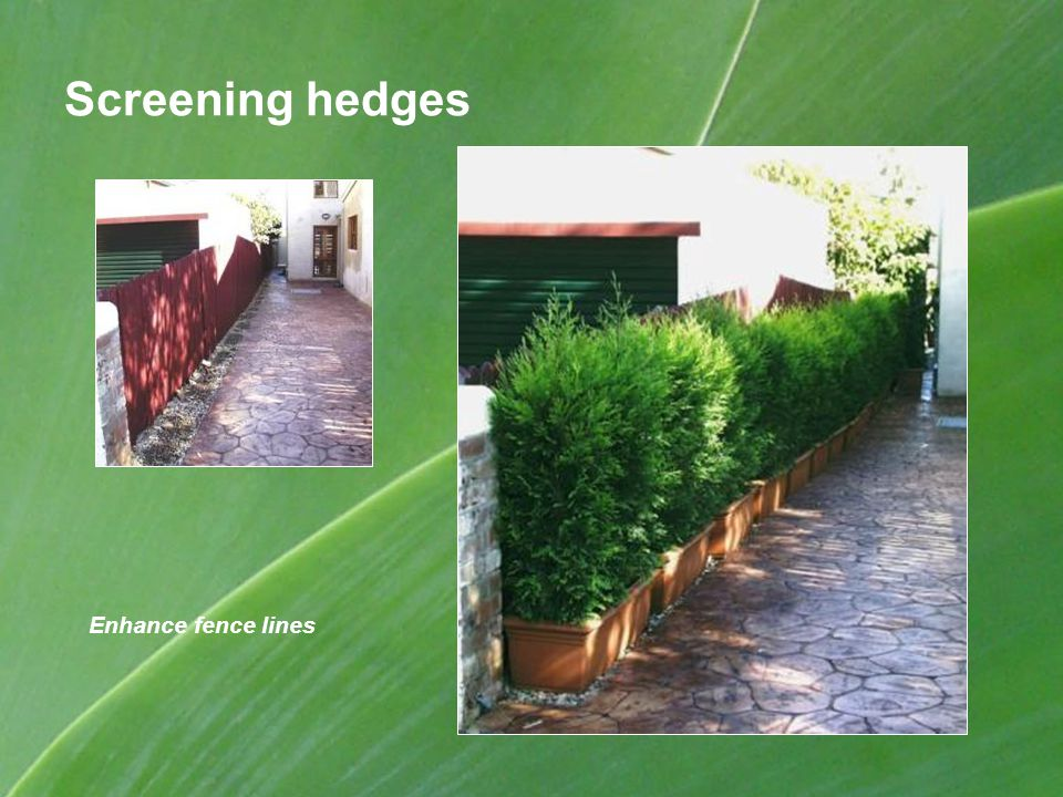Screening hedges Enhance fence lines