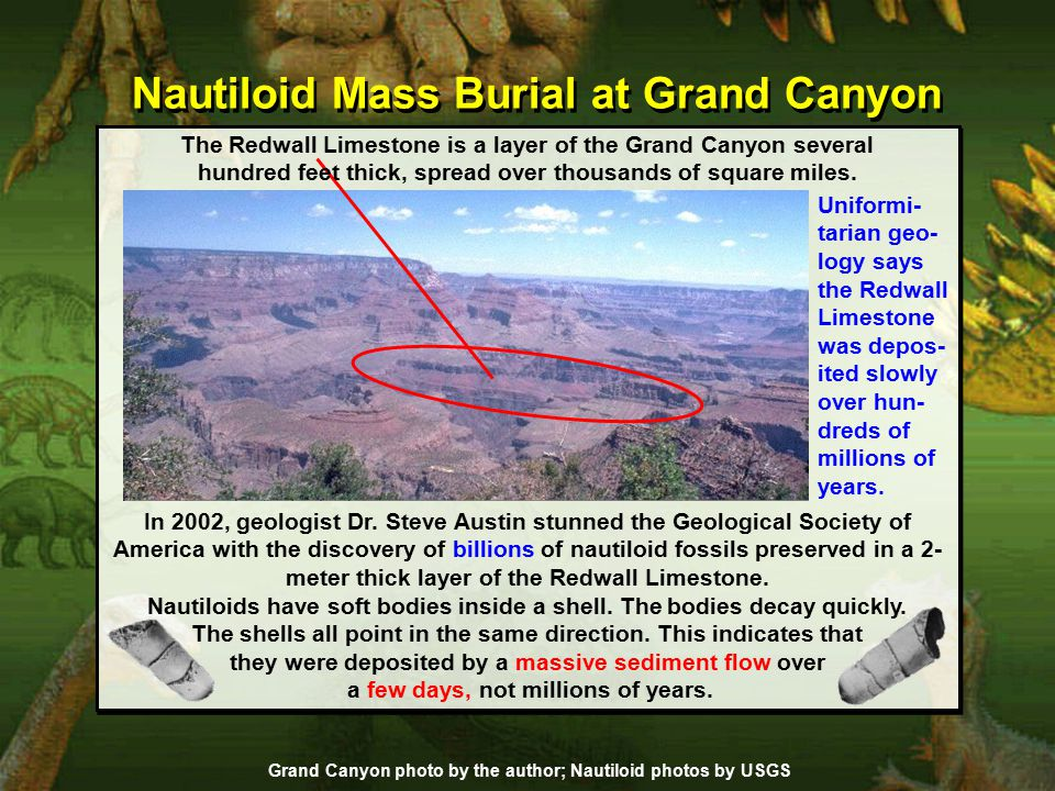 Nautiloid Mass Burial at Grand Canyon Uniformi- tarian geo- logy says the Redwall Limestone was depos- ited slowly over hun- dreds of millions of years.