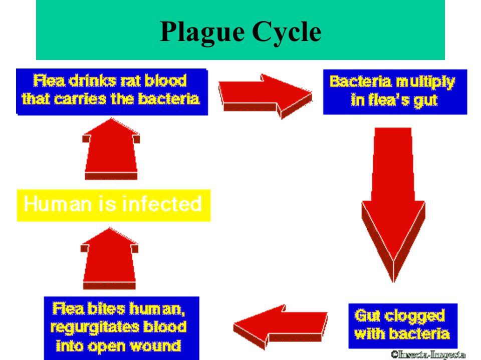 Plague Cycle