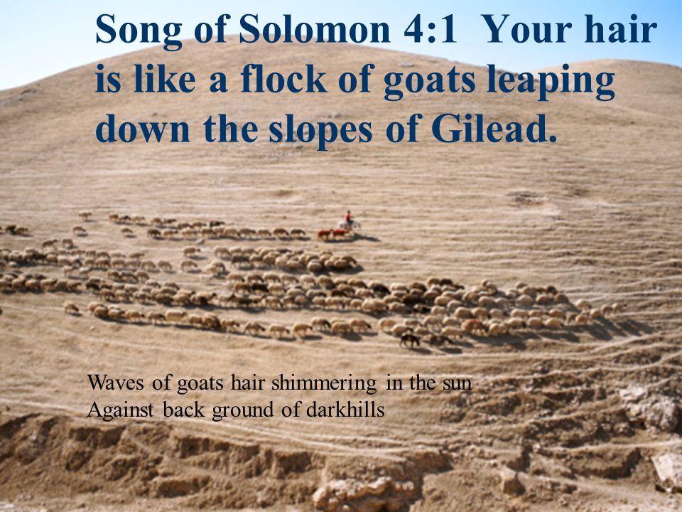 Song of Solomon 4:1 Your hair is like a flock of goats leaping down the slopes of Gilead. Waves of goats hair shimmering in the sun Against back groun