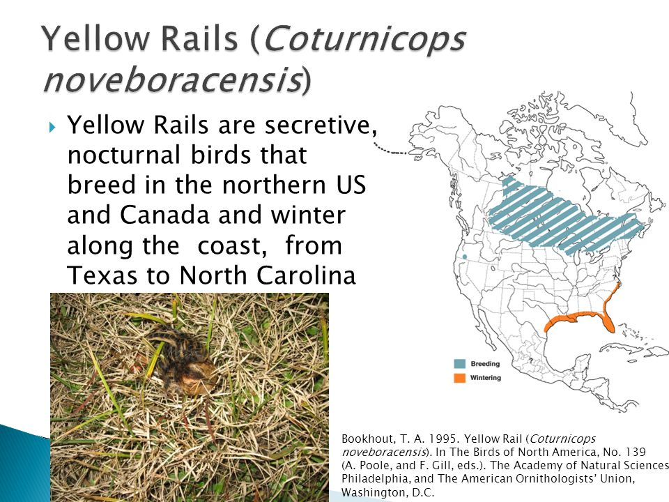  Yellow Rails are secretive, nocturnal birds that breed in the northern US and Canada and winter along the coast, from Texas to North Carolina Bookho