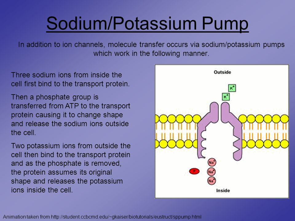 Sodium/Potassium Pump In addition to ion channels, molecule transfer occurs via sodium/potassium pumps which work in the following manner.