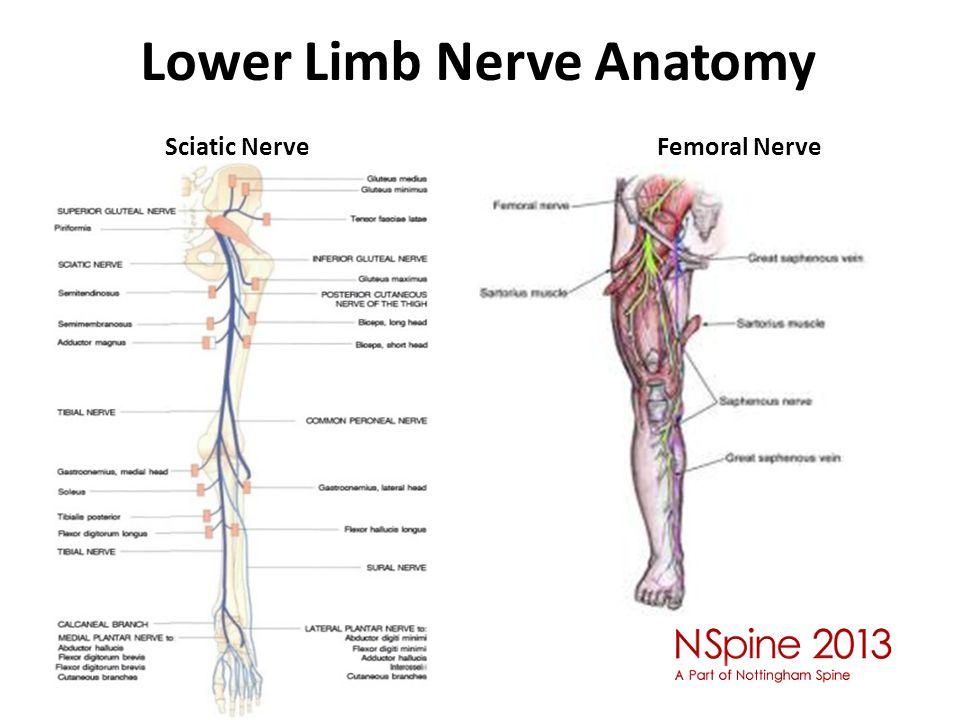 Lower Limb Nerve Anatomy Sciatic Nerve Femoral Nerve