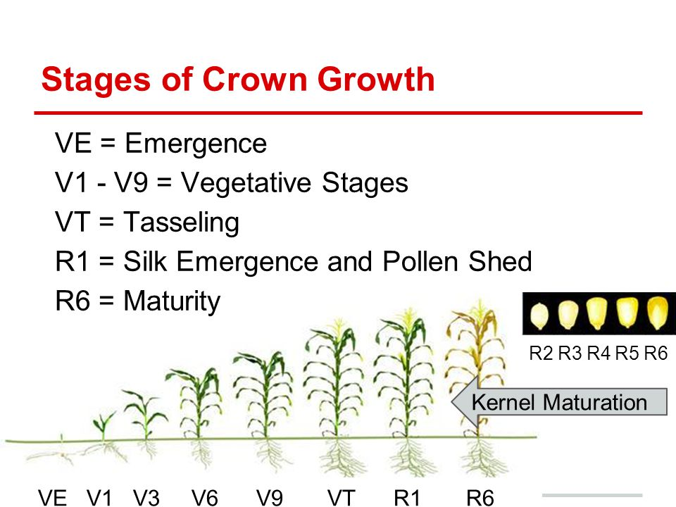 Stages of Crown Growth VE = Emergence V1 - V9 = Vegetative Stages VT = Tasseling R1 = Silk Emergence and Pollen Shed R6 = Maturity VE V1 V3 V6 V9 VT R1 R6 R2 R3 R4 R5 R6 Kernel Maturation