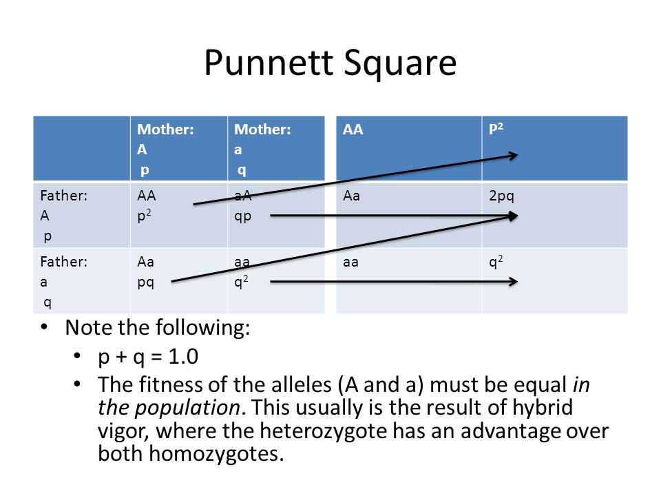 Punnett Square Mother: A p Mother: a q Father: A p AA p 2 aA qp Father: a q Aa pq aa q 2 AAP2P2 Aa2pq aq2q2 Note the following: p + q = 1.0 The fitness of the alleles (A and a) must be equal in the population.