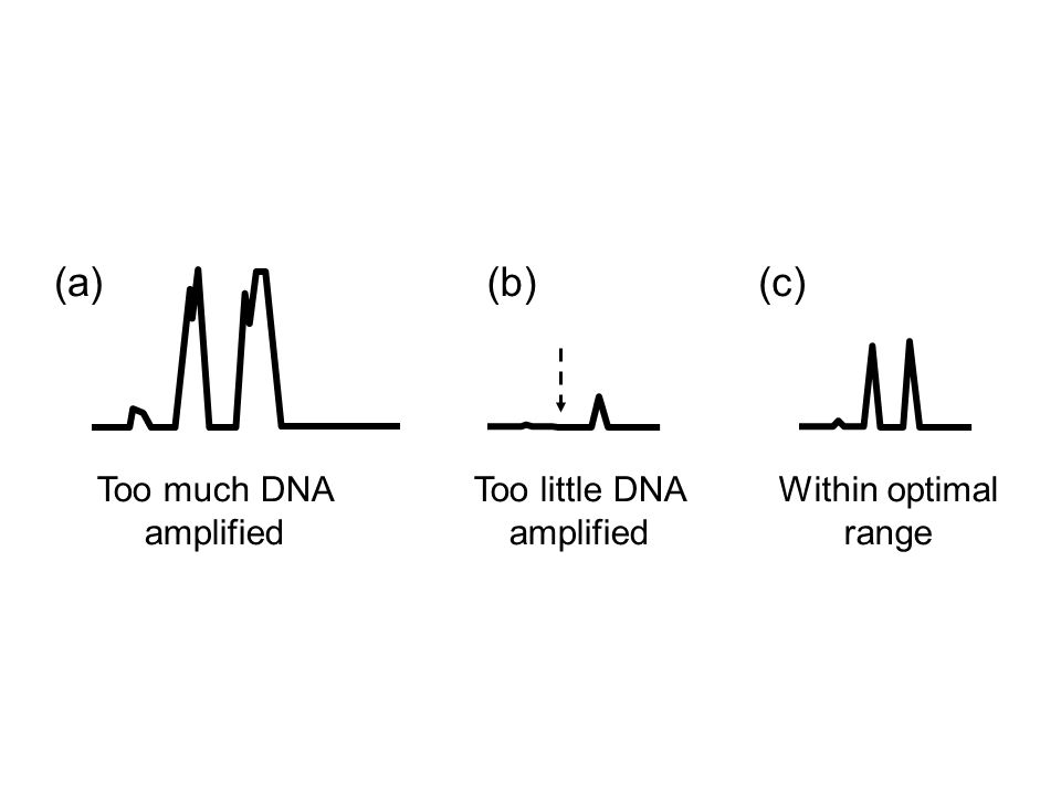 Too much DNA amplified (a)(b) Too little DNA amplified (c) Within optimal range