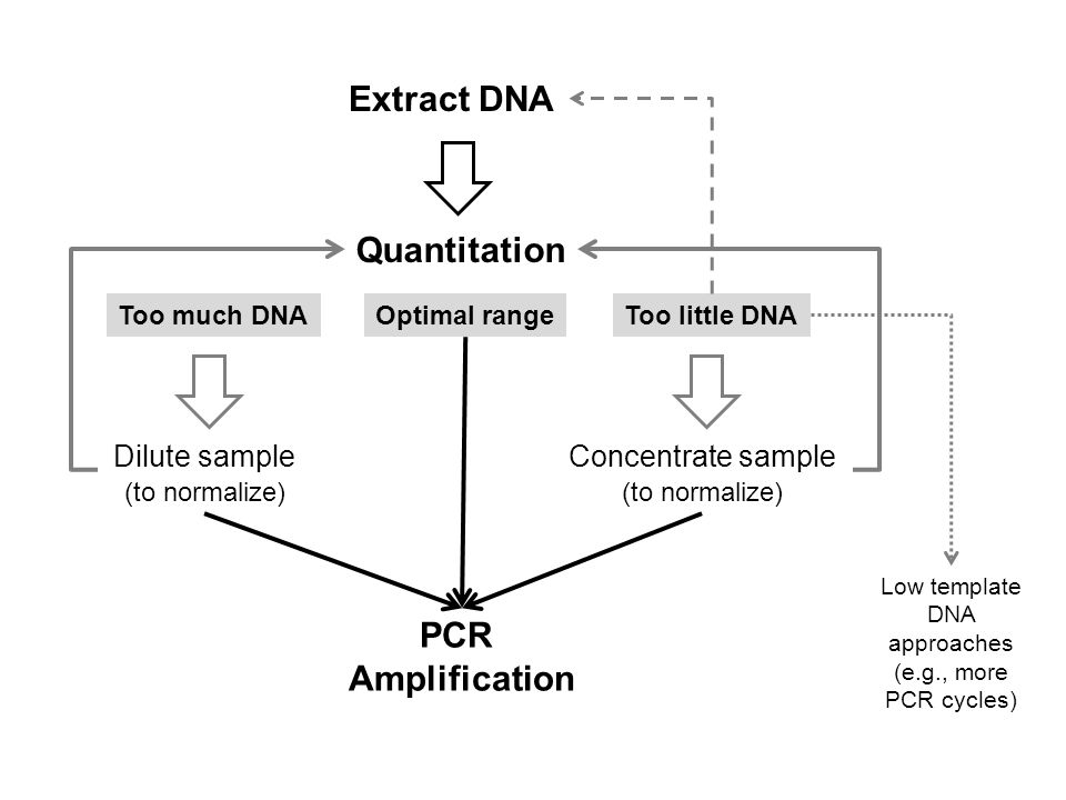 Extract DNA Quantitation Too much DNAToo little DNA Dilute sample (to normalize) PCR Amplification Concentrate sample (to normalize) Optimal range Low