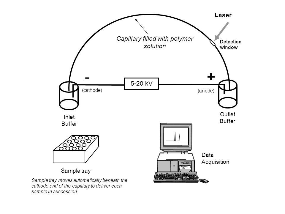 Laser Inlet Buffer Capillary filled with polymer solution 5-20 kV -+ Outlet Buffer Sample tray Detection window (cathode) (anode) Data Acquisition Sam