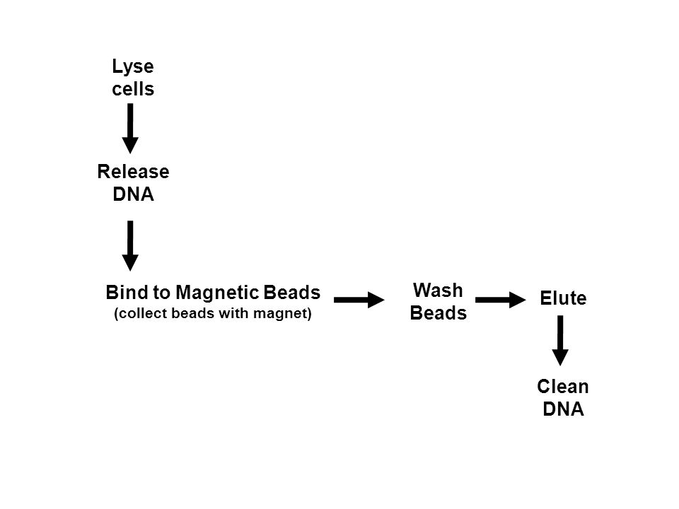 Lyse cells Release DNA Bind to Magnetic Beads (collect beads with magnet) Wash Beads Elute Clean DNA