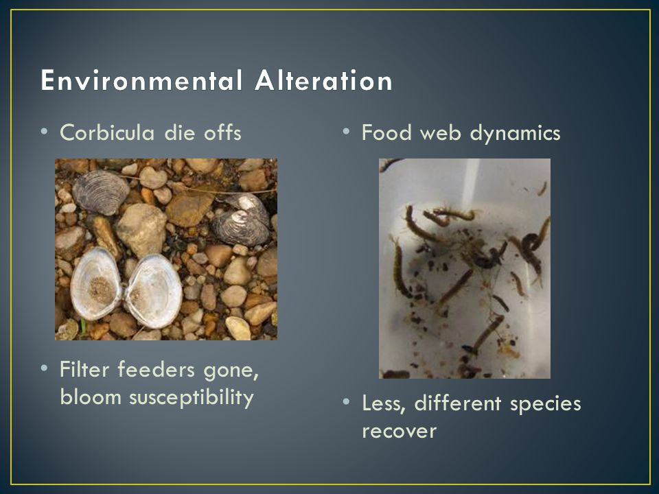 Corbicula die offs Filter feeders gone, bloom susceptibility Food web dynamics Less, different species recover
