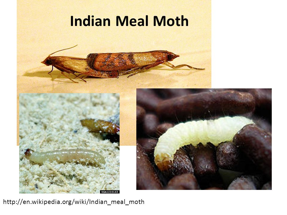 Indian Meal Moth http://en.wikipedia.org/wiki/Indian_meal_moth