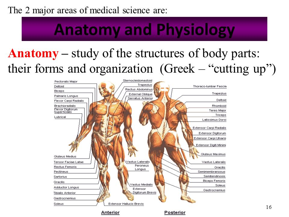 """16 Anatomy and Physiology Anatomy – study of the structures of body parts: their forms and organization (Greek – """"cutting up"""") The 2 major areas of me"""